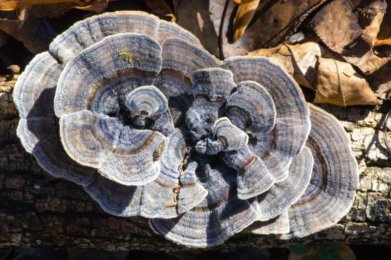 false turkey tail mushroom, Monte Sano State Park, South Plateau Loop