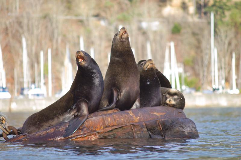 Sea lion quartet (Photo: Alex Balansay)