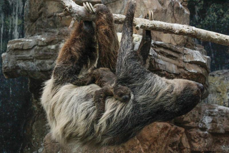 Baby sloth with its mother at Denver Zoo