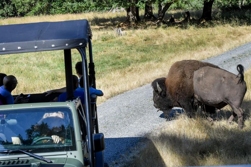 Jeep pulling alongside Bison