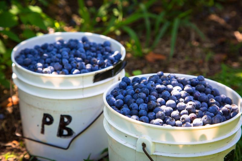 Pungo Blueberries