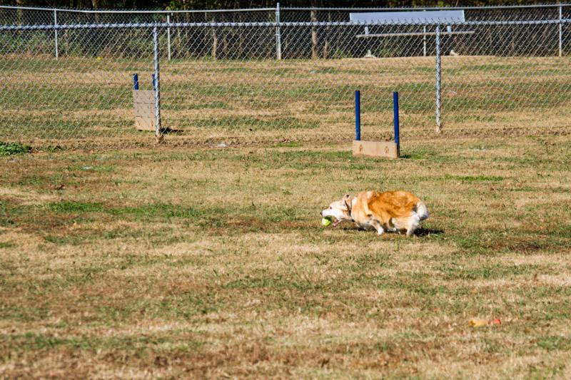 Corgi catches a tennis ball at a Huntsville, AL dog park
