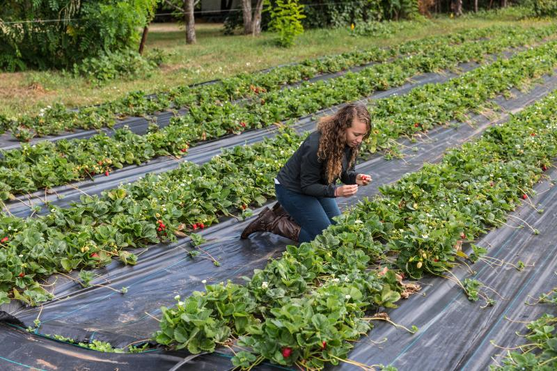 Woman sits between rows of strawberries at Organic Redneck Farms looking for a perfect berry.