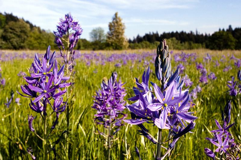 Camas Wildflowers by Willamalane