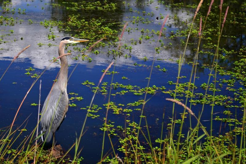 Great Blue Heron by Jim Mullholand