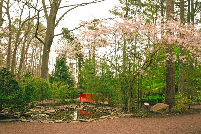 Cherry Blossoms - Spring