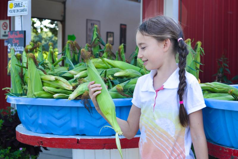 Young girl looking at a big ear of corn in her hand and stands beside a large bin full of corn in front of a farm stand.