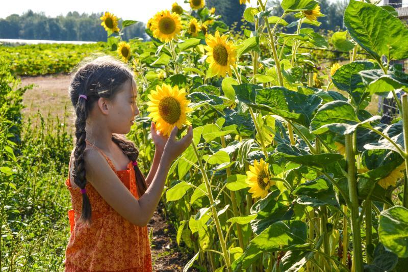 U-Pick Sunflowers at Groundwork Organics Farm by Melanie Griffin