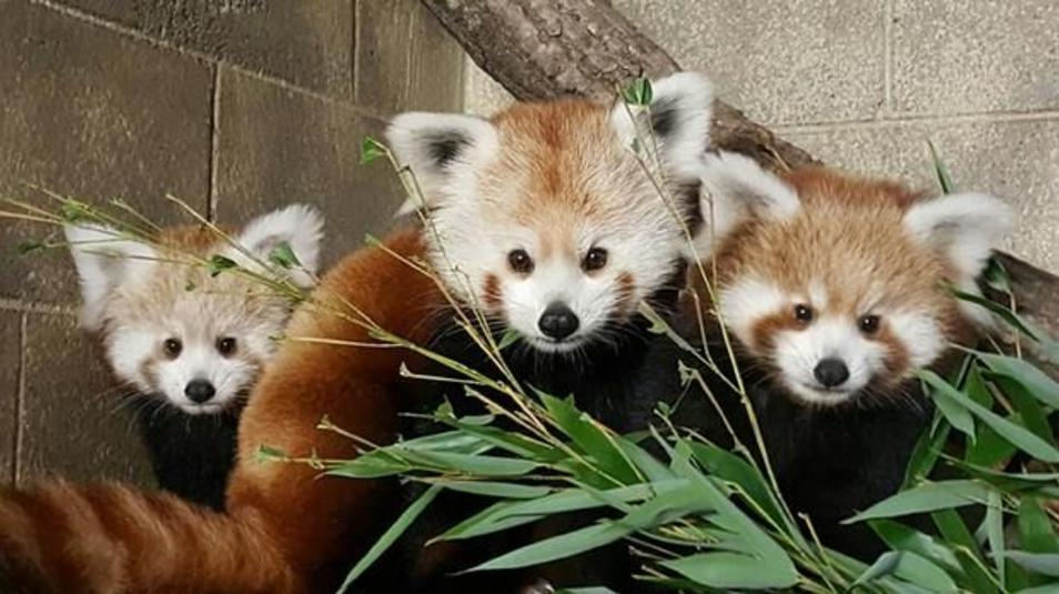 Potter Park Zoo Red Pandas