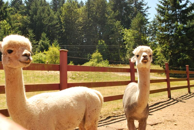 Two recently sheered white alpacas look into the camera.
