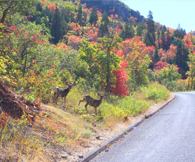 Nebo Loop Deer