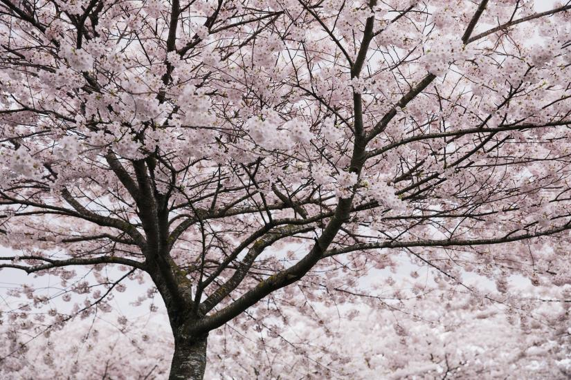 Cherry Blossoms at Garry Point Park