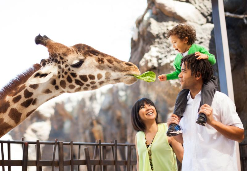 Kid Feeding Giraffe