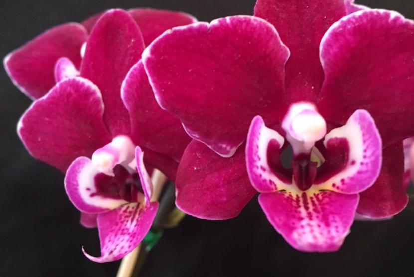 Lianher Cranberry Cha Cha Orchid