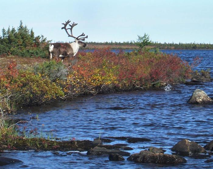 Watching a caribou at the waters edge - Gangler's North Seal Wilderness