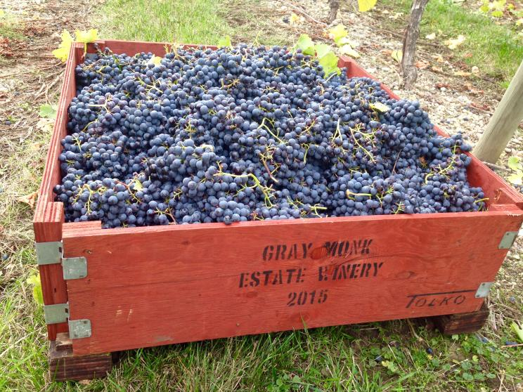 Picked Grapes at Gray Monk Winery