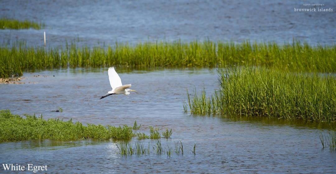 Labeled White Egret_bird