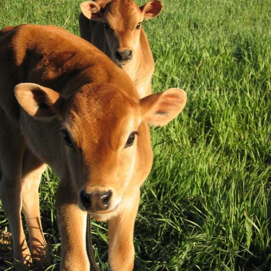 JR_Dairy_Calves