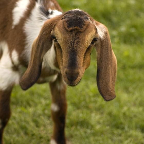 Young_goat_Close-up