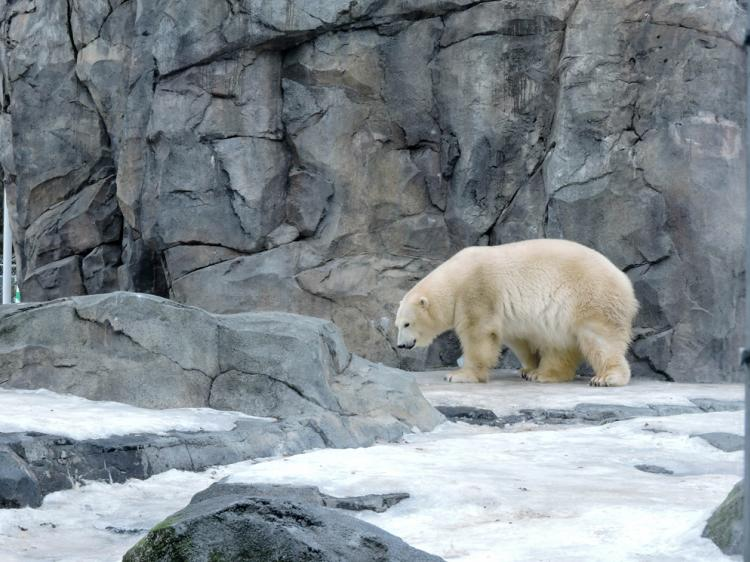 A polar bear at the Alaska Zoo