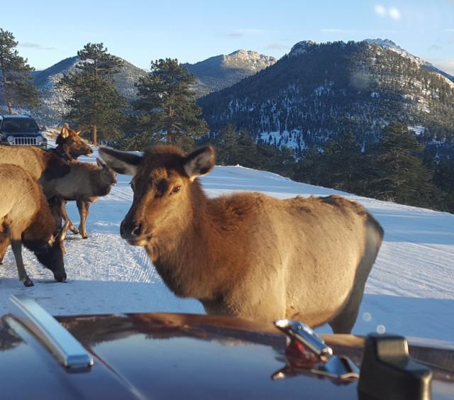 Elk on Tour
