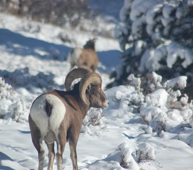 Big Horn Ram in Winter