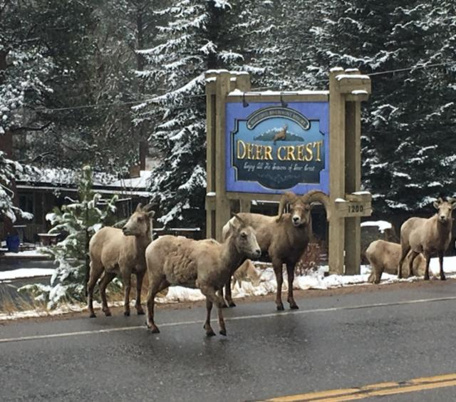 Deer Crest Ram Sighting