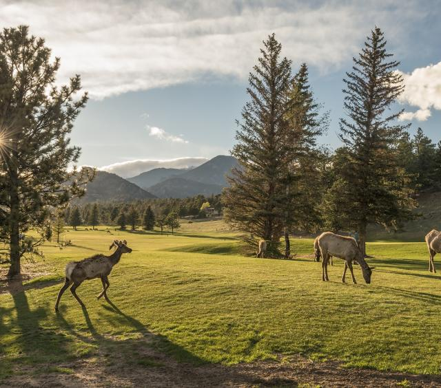 Elk at the 9-Hole