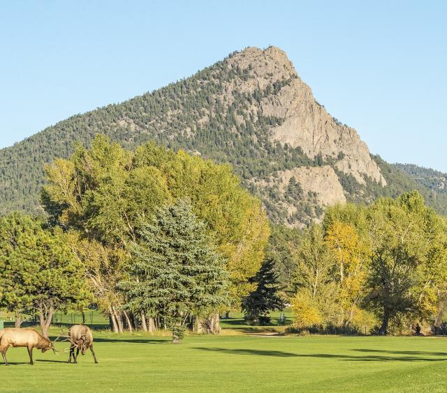 Elk Sparring at the Lake Estes 9-Hole Golf Course