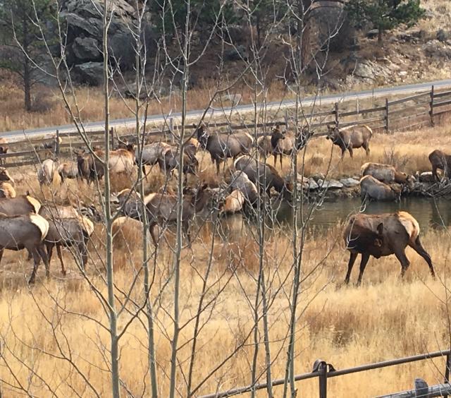 Herd of elk playing in the field