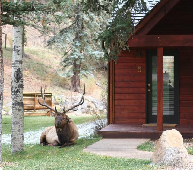 Bull elk relaxing at Boulder Brook