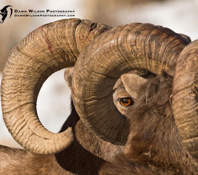 Rams Eye