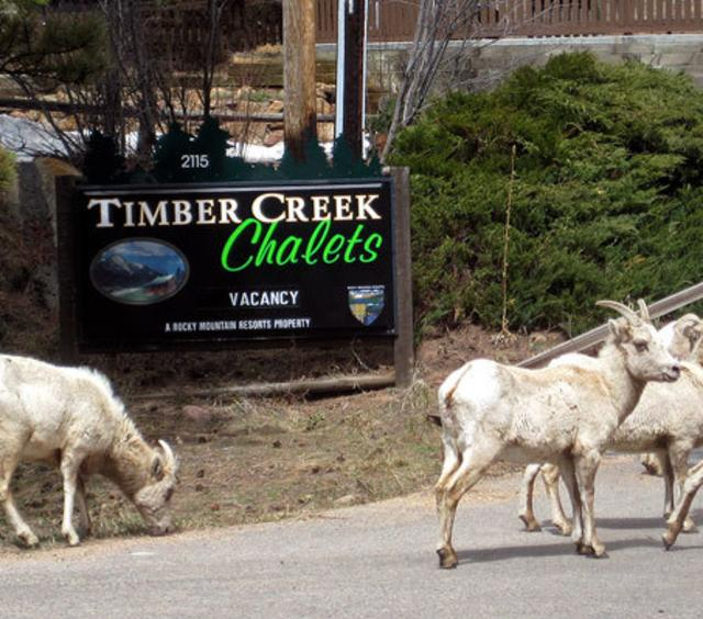 Big Horn Sheep in front of Timber Creek