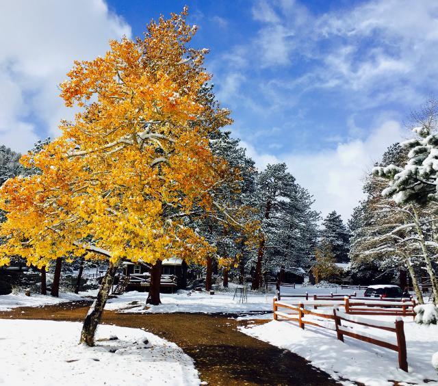 Snow Aspen