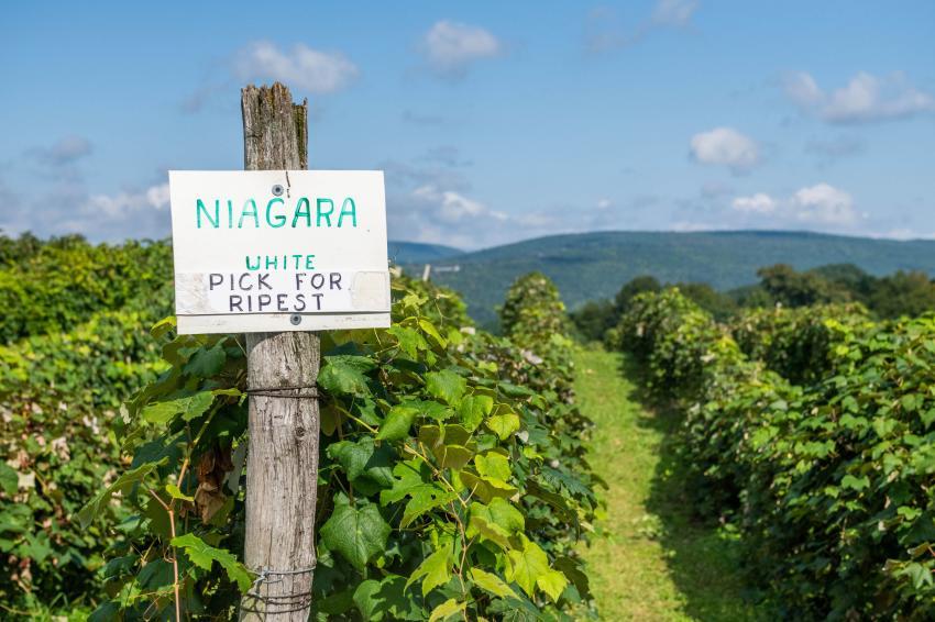 U-Pick Niagara Grapes in Naples