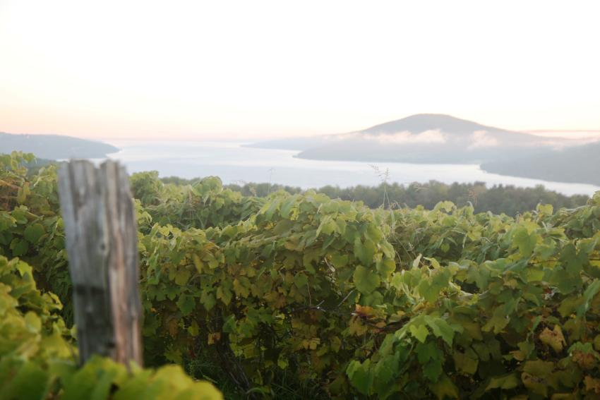 finger-lakes-canandaigua-grapes-vines