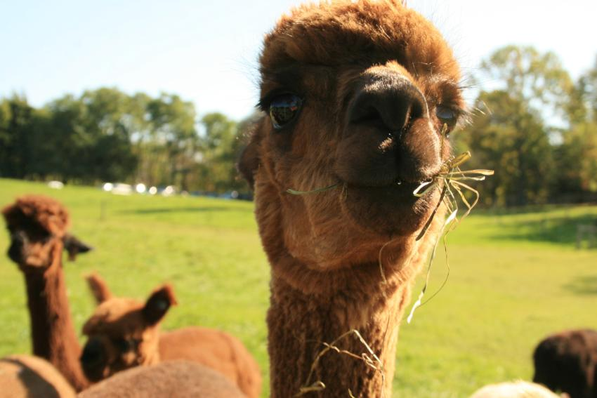 lazy-acres-alpaca-bloomfield-alpaca-chewing