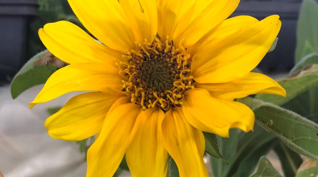 Sunflowers for your Garden