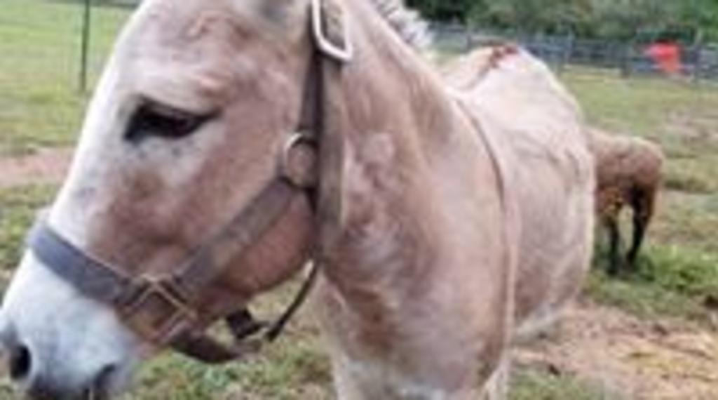 Pedro the donkey