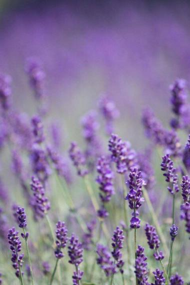 Lavender growing at Rue Claire