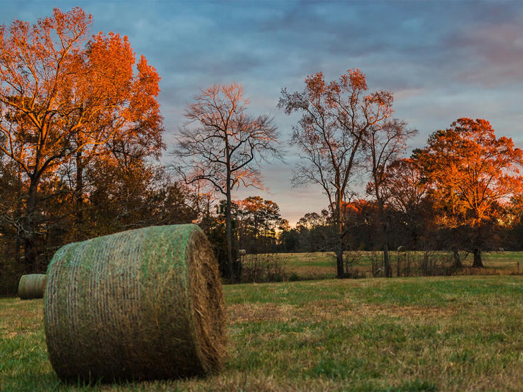 Hay bales in the fall on a farm in Johnston County, NC.