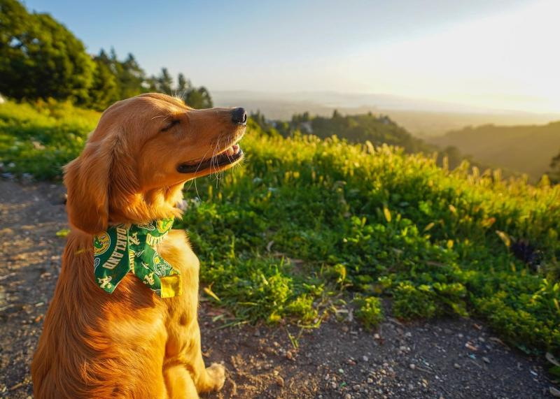 Golden Retriever in the Hills Photo