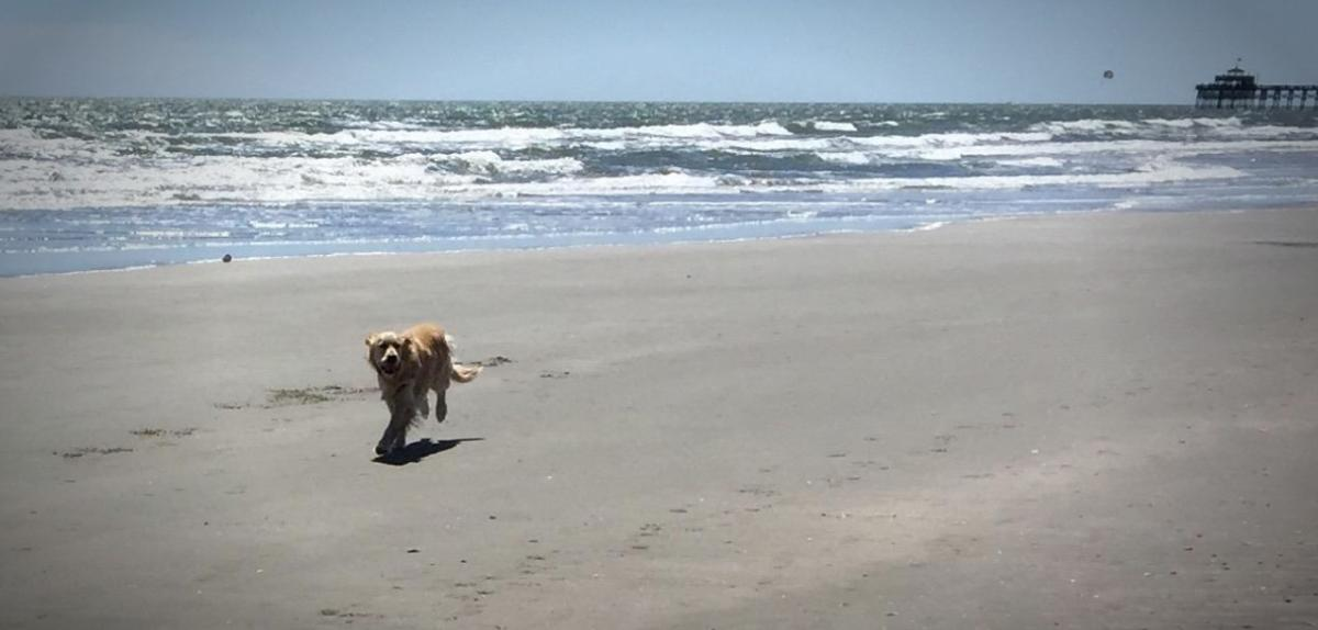 Happy dog running on the beach