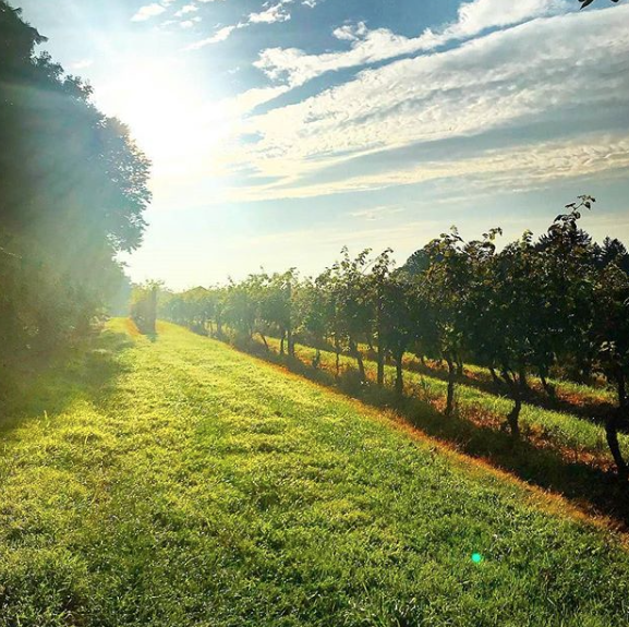 Sunshine on the grapevines at Crossing Vineyards & Winery in NJ