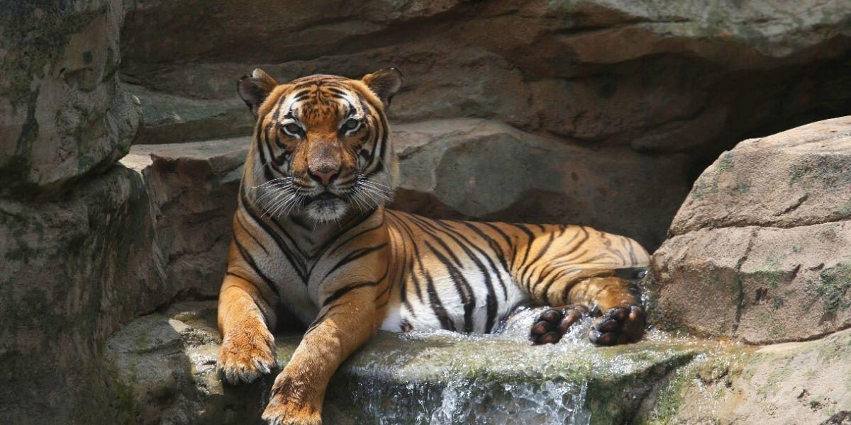 A tiger at the Knoxville Zoo relaxes in the afternoon sun