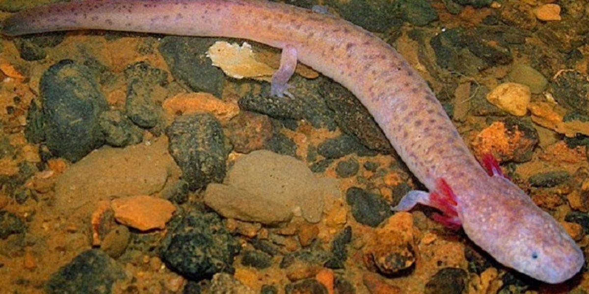 Tennessee Cave Salamander | Photo credit Matt Niemiller