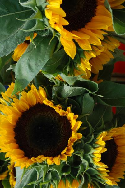 Sunflowers at the Frederick Farmers Market