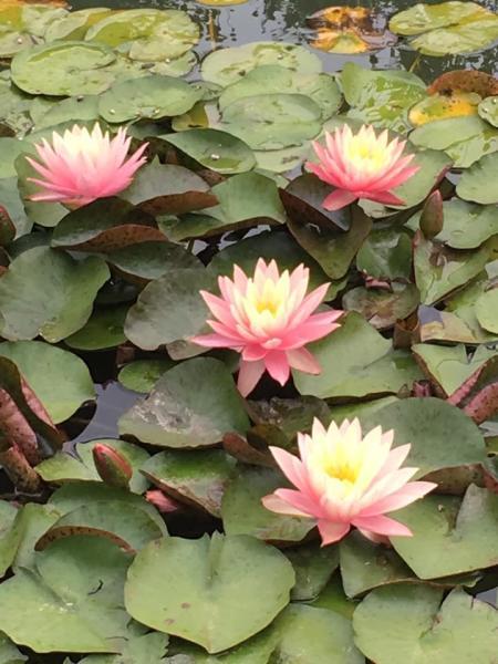 Lillies in Carroll Creek