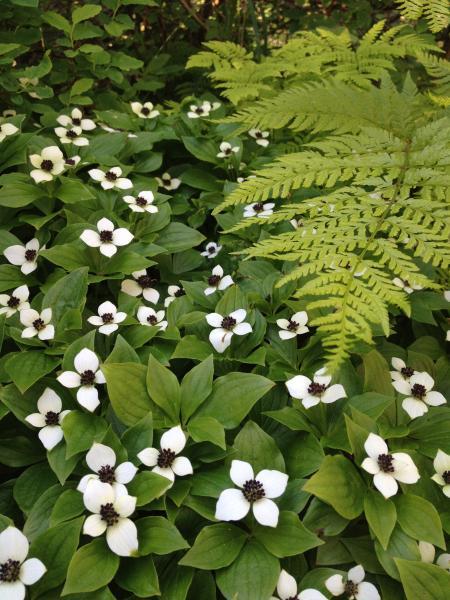 Dogwood flowers in Valdez