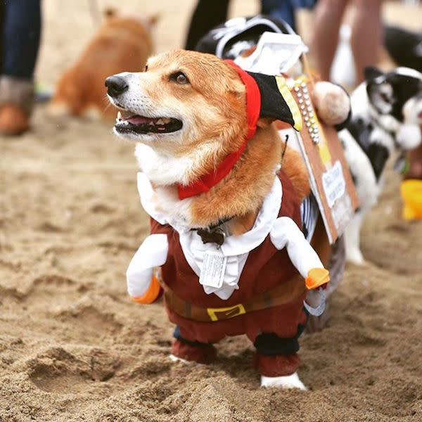 Corgi Pirate photo by @drew1822